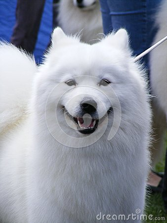 White samoyed portrait