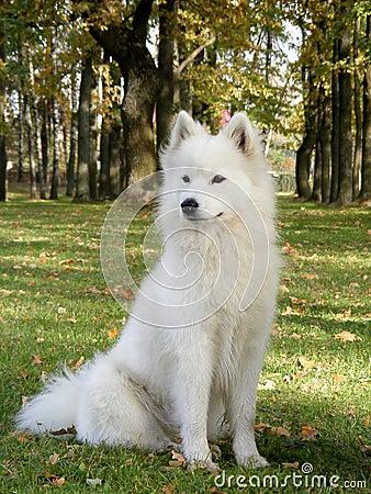 White samoyed sitting in park