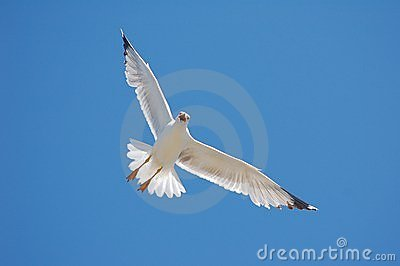 White Seagull on Blue Sky