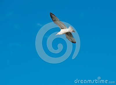 White seagull flying in the blue sky, one seagull in blue background, flying bird in the sky,white isolated bird in the blue sky