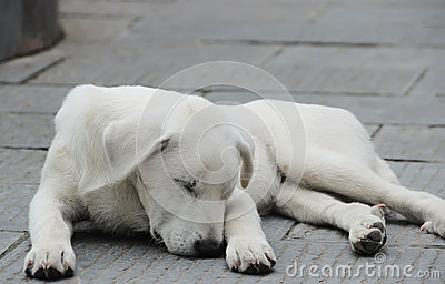 White sheep-dog