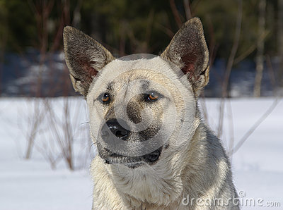 White shepherd with black snout