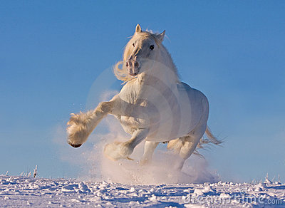 white shire horse running in the snow royalty free stock
