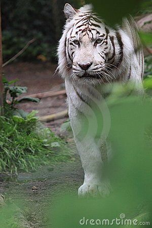 White siberian tiger walking