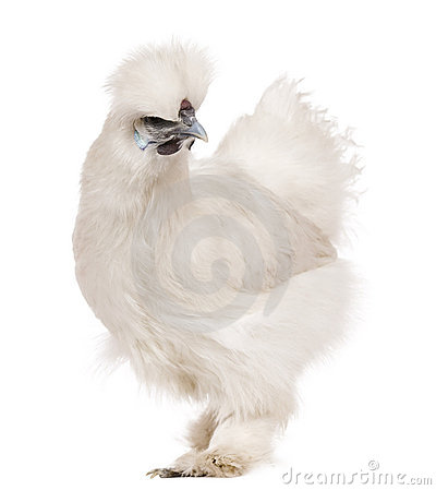 White Silkie chicken, 6 months old, standing