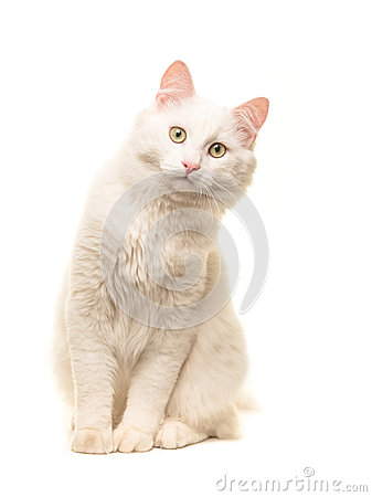 Free White Sitting Turkish Angora Cat Sitting And Leaning Forward To Look In The Camera Royalty Free Stock Images - 95516169