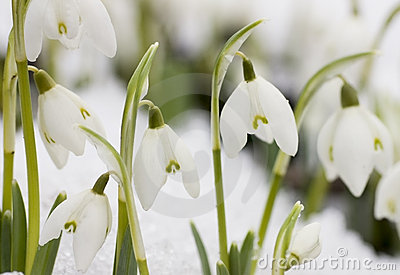 White snowdrops (Galanthus nivalis)