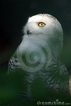 White Snowy Owl 2