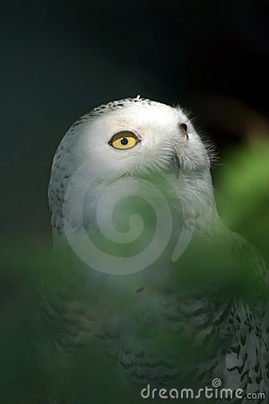 Free White Snowy Owl 3 Royalty Free Stock Images - 2323099