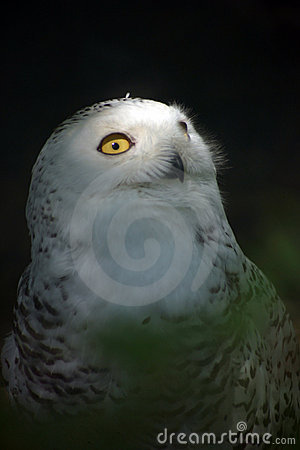 Free White Snowy Owl 4 Stock Images - 2323104