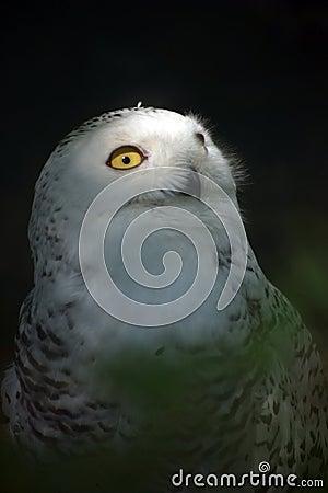 White Snowy Owl 4