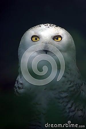 Free White Snowy Owl 5 Royalty Free Stock Image - 2323106