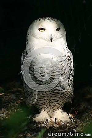 White Snowy Owl 6