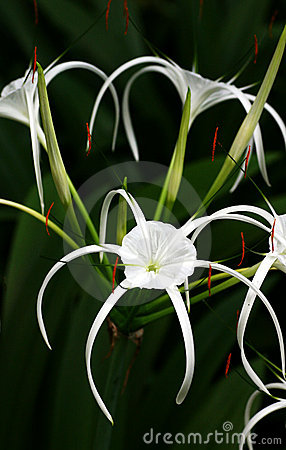 White Spider Lily - Hymenocallis sp.