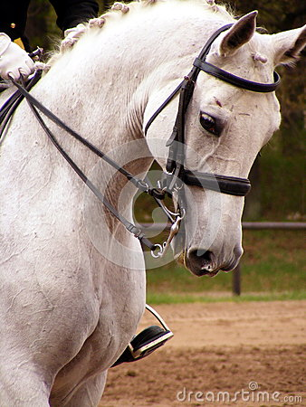 White sport horse portrait with bridle