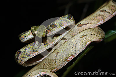 The white-spotted cat snake