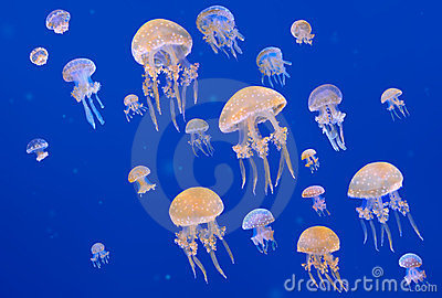 White-Spotted Jellyfishes