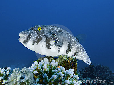 White-spotted puffer fish on corals