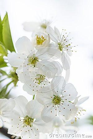 Free White Spring Cherry Flowers Stock Image - 39736541
