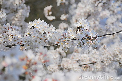 White spring cherry tree flowers
