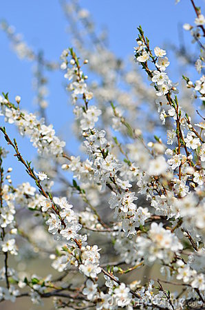White spring cherry tree flowers in bloom