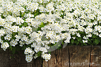 White spring flowers and wooden fence