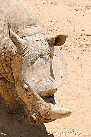White (square-lipped) rhinoceros