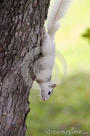 White Squirrel, Brevard, NC