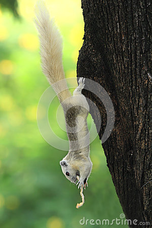 White Squirrel eating snack