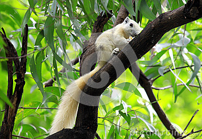 White Squirrel eating snack on tree