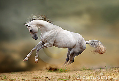 White stallion playing