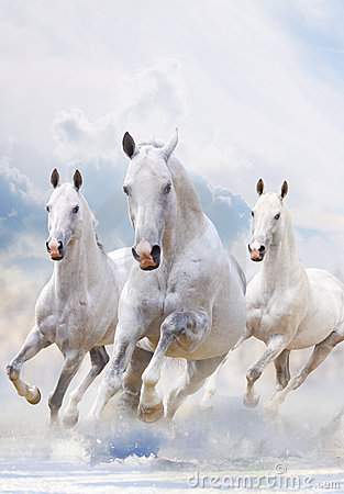 White stallions in snow