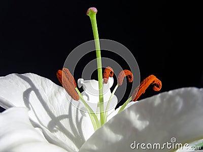 White Stargazer Lily