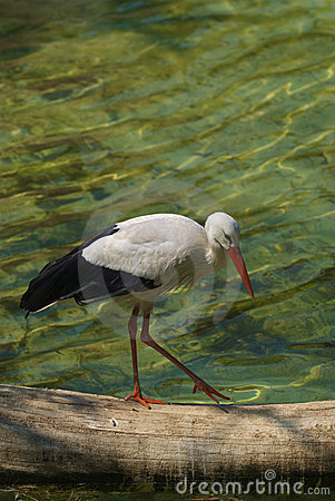 White storck - Ciconia Ciconia