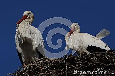 White Stork ( Ciconia ciconia )
