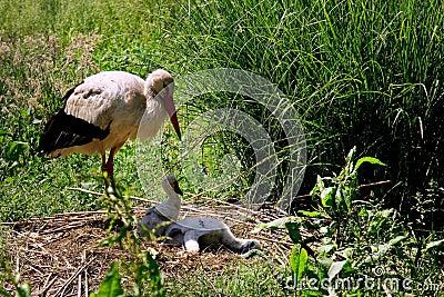 A white stork, ciconia ciconia