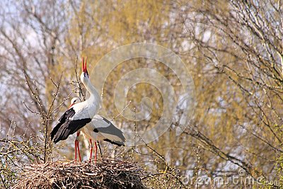 White stork couple nesting