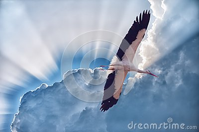 White stork with developed wings in the sky