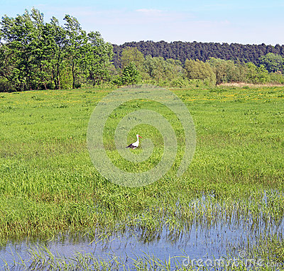 White stork in grass