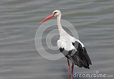 White stork hunts in the river