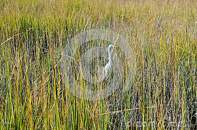 White Stork Marsh Tall Green Grass
