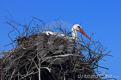 The white stork on the nest