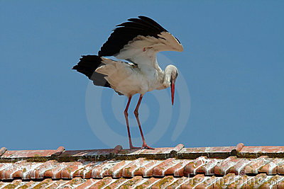 White stork on the roof