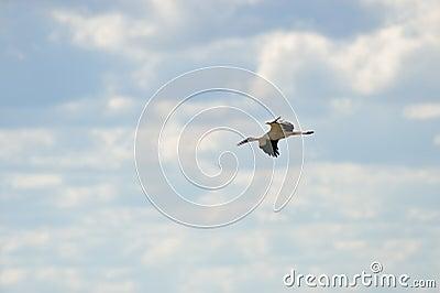 White Stork in the sky