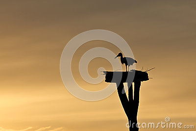 White Stork at Sunset