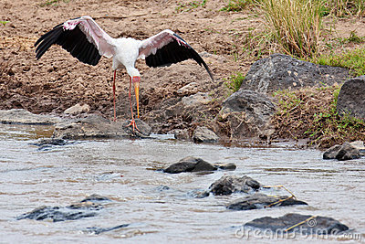 White Stork volant bent to the water