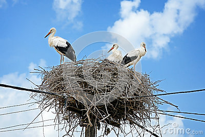 White storks in nest