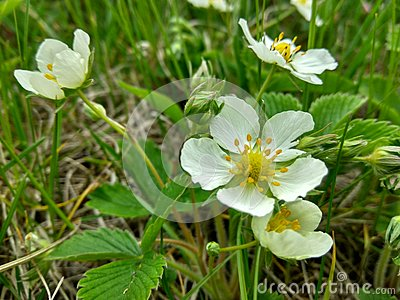 White strawberry flowers Stock Photo