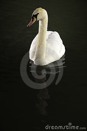 Free White Swan Stock Images - 17771454
