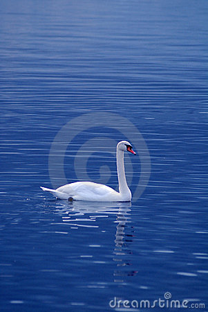 Free White Swan Stock Photography - 3944802